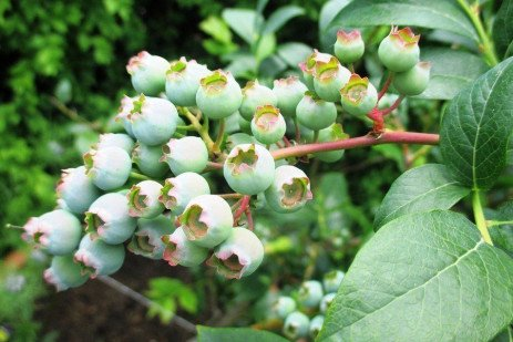 Blueberry Pollination in Home Fruit Plantings