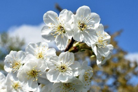 Home Orchards: Stone Fruit Flowering Habits