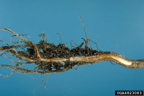 Phytophthora Root Rot in Raspberries in the Home Garden