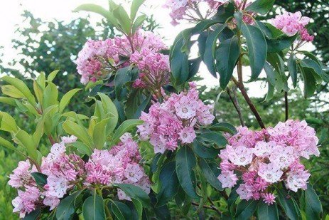 Mountain Laurel Diseases