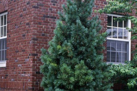 You Can Have Your Pine and Eat It, Too - Eventually