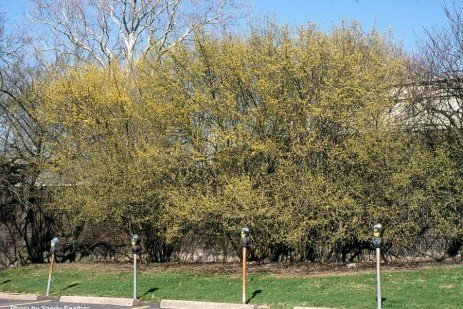When Corneliancherry Dogwood Blooms, Spring is Not Far Behind