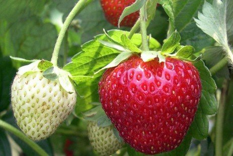 Strawberry Cultivars - An Historical View