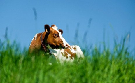 Pasture-Based Systems for Dairy Cows in the United States