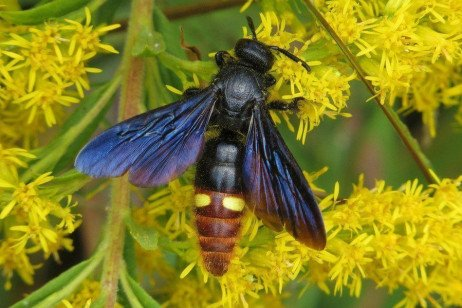 Blue winged wasp, Scolia dubia—is a real asset!