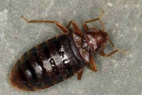 The Public Health Impact of Bed Bugs