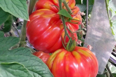 Refining Tomato Nutrition for Improved Packouts