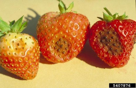 Home Fruit Gardens: Table 8.2. Strawberry Disease Control Strategies