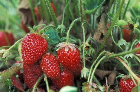 Home Fruit Gardens: Table 8.6. Pesticide Recommendations for Strawberries