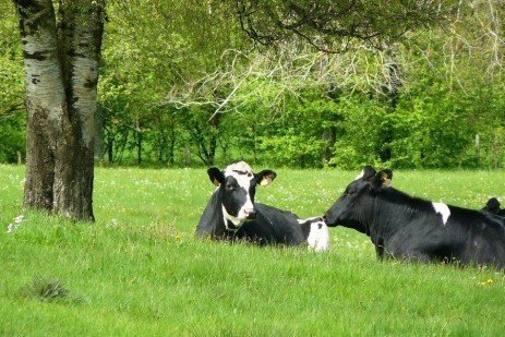Contagious Mastitis Organisms in Dairy Herds