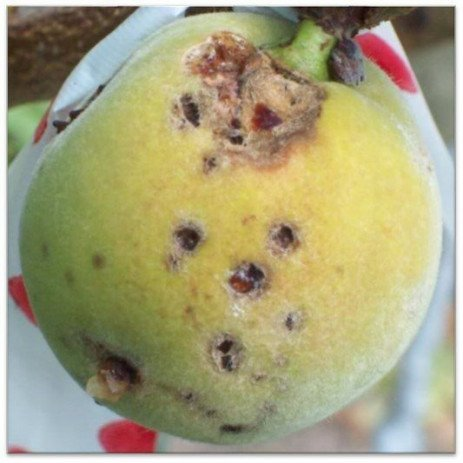 Peach Disease - Bacterial Spot Differentiation from Copper Injury