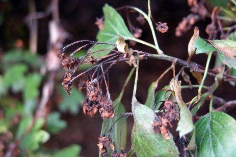 Apple and Pear Disease - Fire Blight, Dormant Removal of Cankers