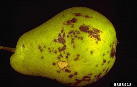 Pear Scab in the Home Fruit Planting