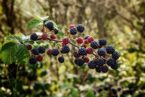 Pest Management in Brambles in Home Fruit Plantings