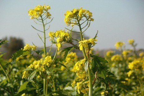 Cleaning and Storage of Oilseed