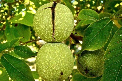 Landscaping and Gardening Around Walnuts and Other Juglone Producing Plants