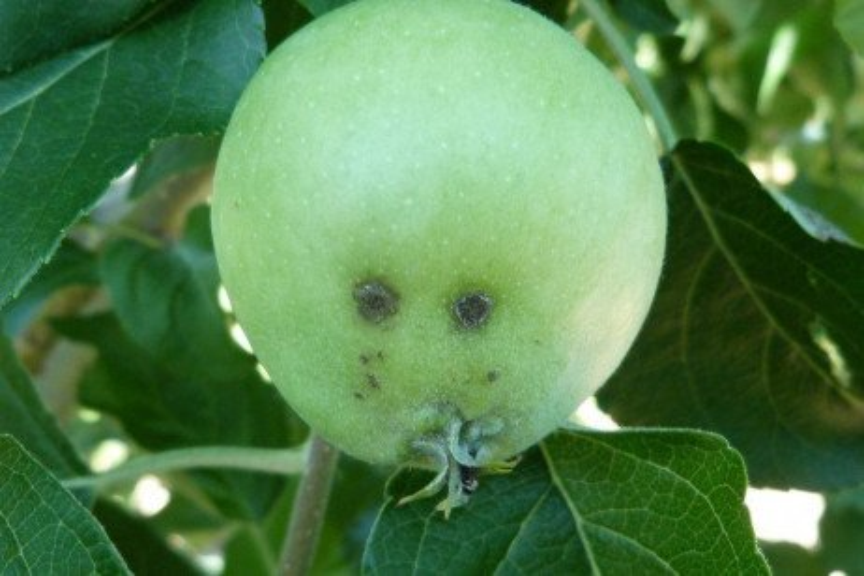 Apple Disease - Apple Scab