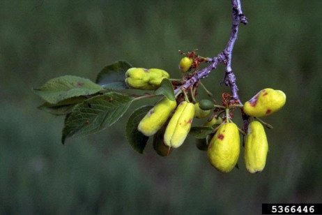 Plum Pockets in the Home Fruit Planting