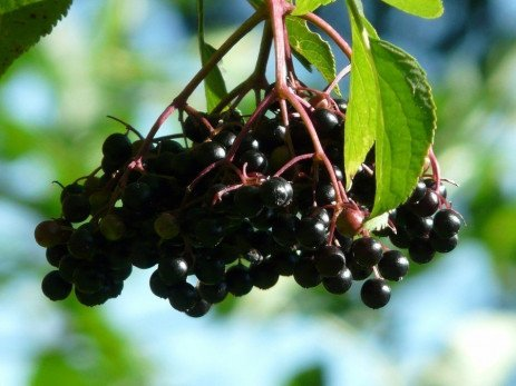 Insect Pests in Elderberries in Home Fruit Plantings