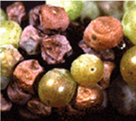 Grape Disease - Botrytis Bunch Rot