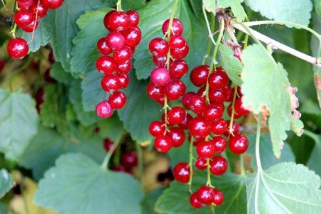 Home Fruit Plantings: Gooseberries and Currants