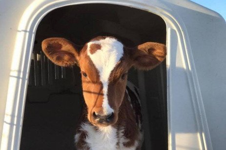 Economics and Effects of Accelerated Calf Growth Programs