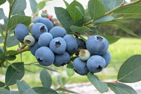 Home Fruit Gardens: Table 9.2. Efficacy of Insecticides on Blueberries