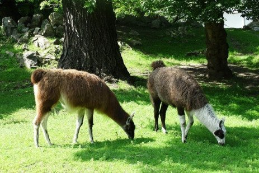 Effects of Forage Quality on a Camelid Feeding Program