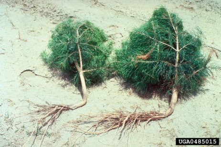Mechanical Damage to Christmas Trees