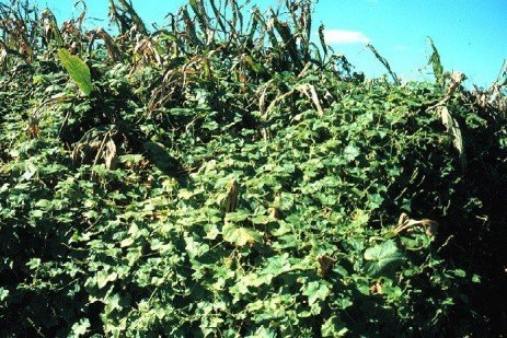 Burcucumber Management in Corn and Soybean