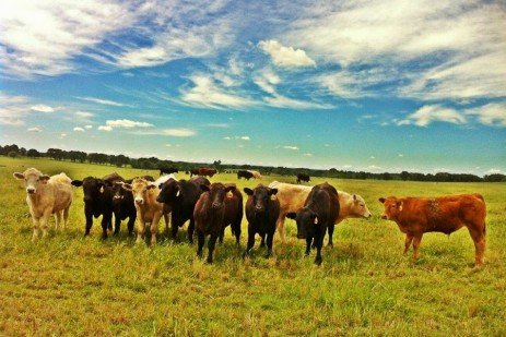 Grass-fed Beef Production