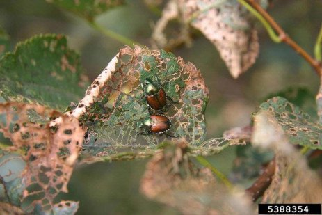 Home Fruit Gardens: Table 7.3. Occurrence of Insects and Mites on Brambles