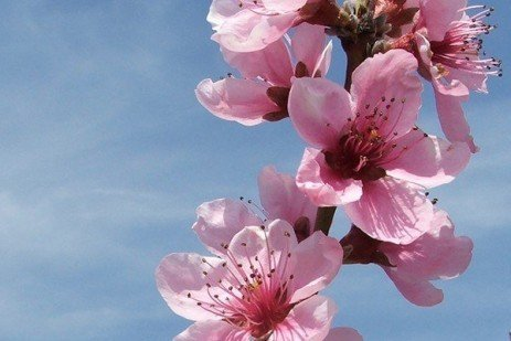 Thinning Peach Blossoms: Increase Fruit Size and Reduce Labor Requirement