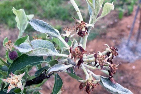 New Fungicide to Control Apple Powdery Mildew: Torino