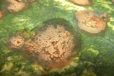 Watch Out for Fungal Diseases On Melons