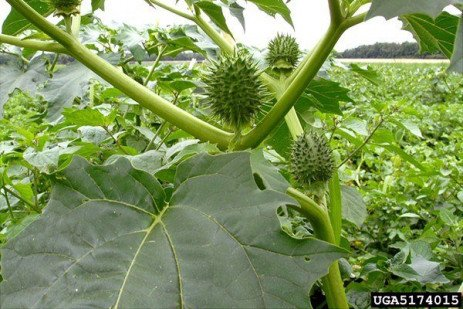 Toxic Weed in the Landscape: Jimsonweed