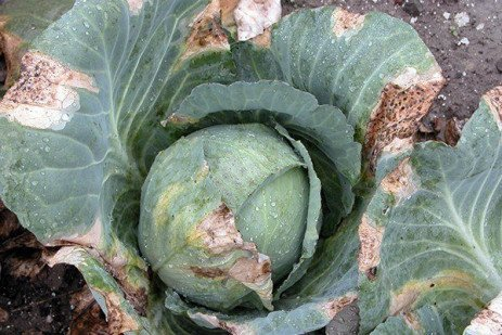 Vegetable Disease Update: September 6, 2018