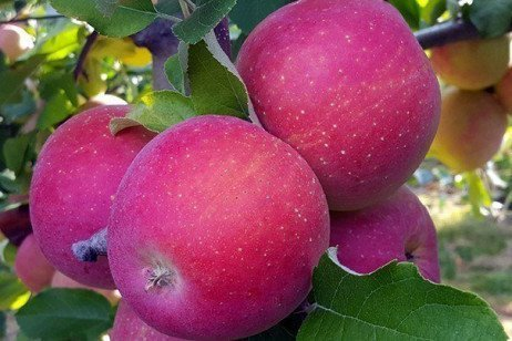 2018 Apple Maturity Assessments: Week Seven