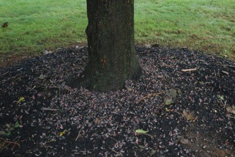 Treating Black Walnuts with Insecticides for Spotted Lanternfly Control