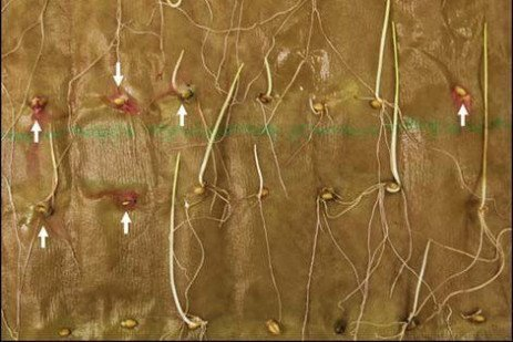 Wheat and Barley Diseases: What is in Your Seed?
