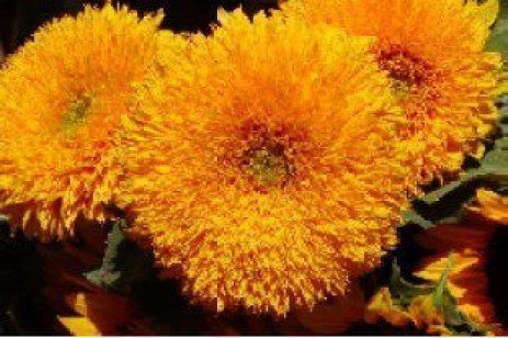 Great Cut Flowers from Your Home Garden