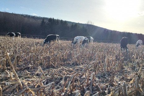 Grazing Corn Stalks with Beef Cattle