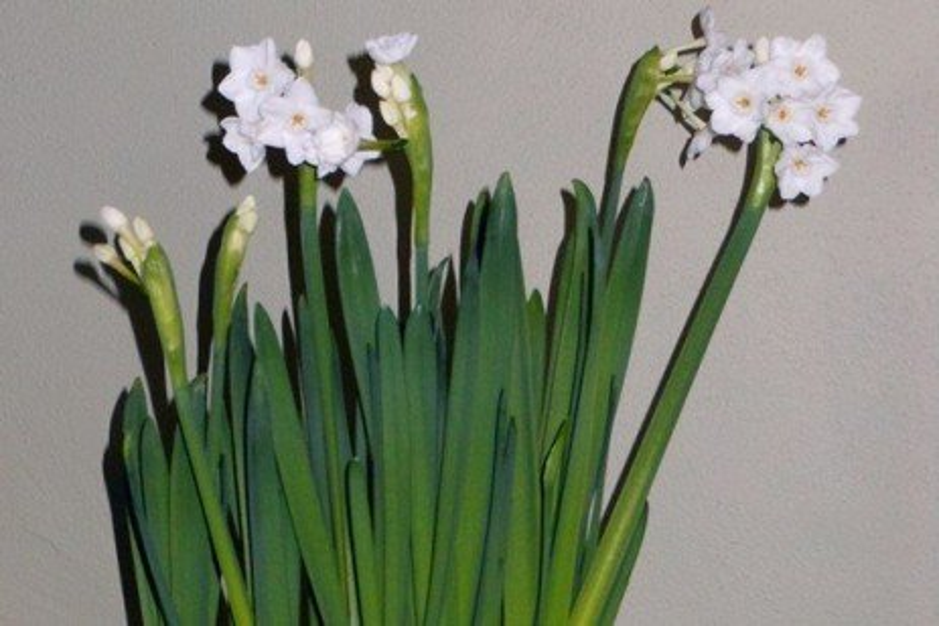 Enjoying Paperwhite Narcissus in Winter