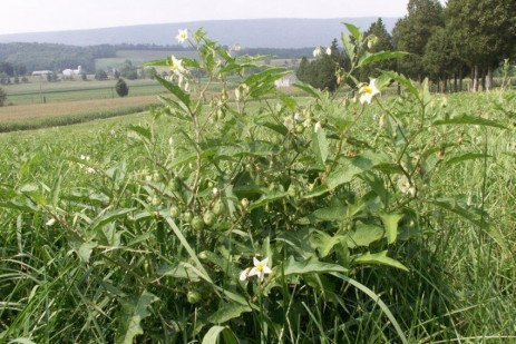 Poisonous Pasture Weeds and Livestock