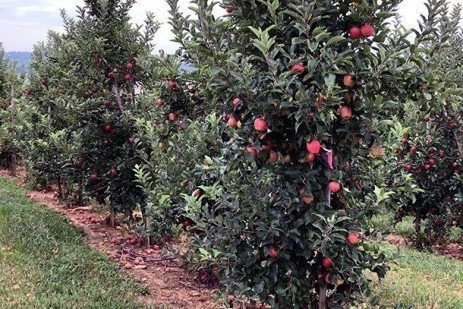 2019 Apple Maturity Assessments: Week Three