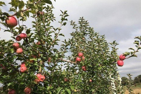 2019 Apple Maturity Assessments: Week Thirteen