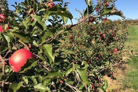 2019 Apple Maturity Assessments: Week Fourteen, Final Picking
