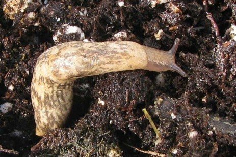 Pay Attention to Seed Options When Replanting Following Slug Damage