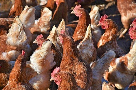 Managing Chicken Coccidiosis in Small Flocks During Summer