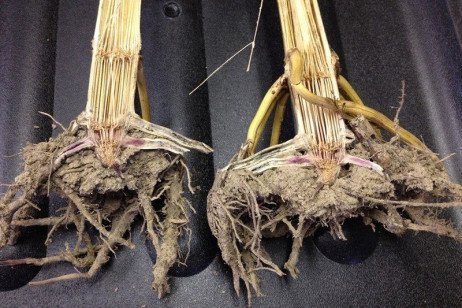 Scouting for Stalk Rots in Corn